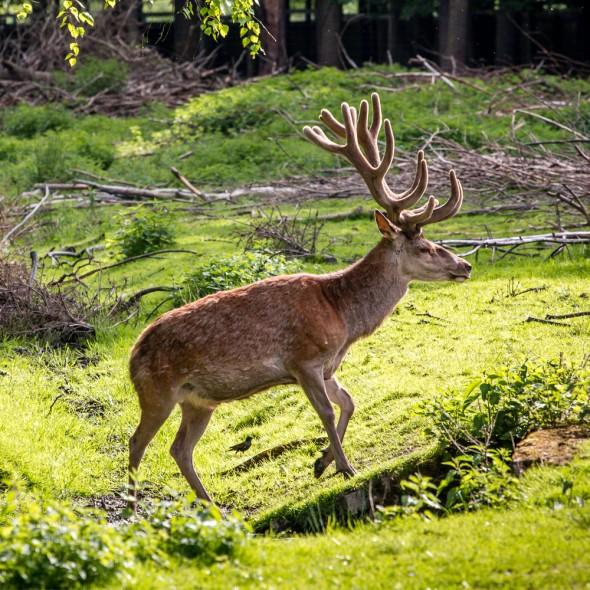 deer-Photo