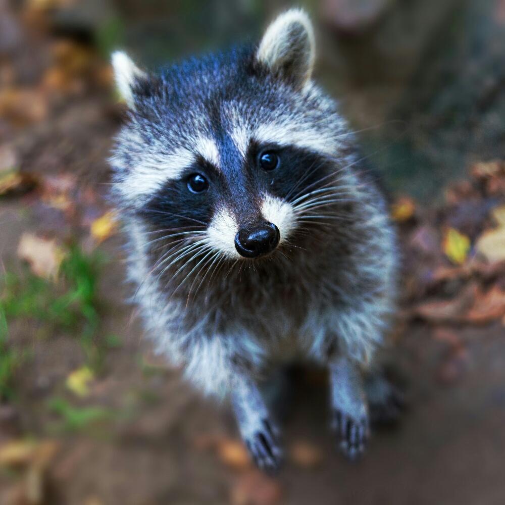 Waschbär – racoon