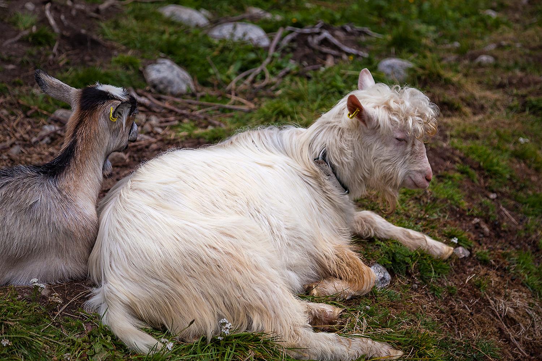 curly goat – Löckchen