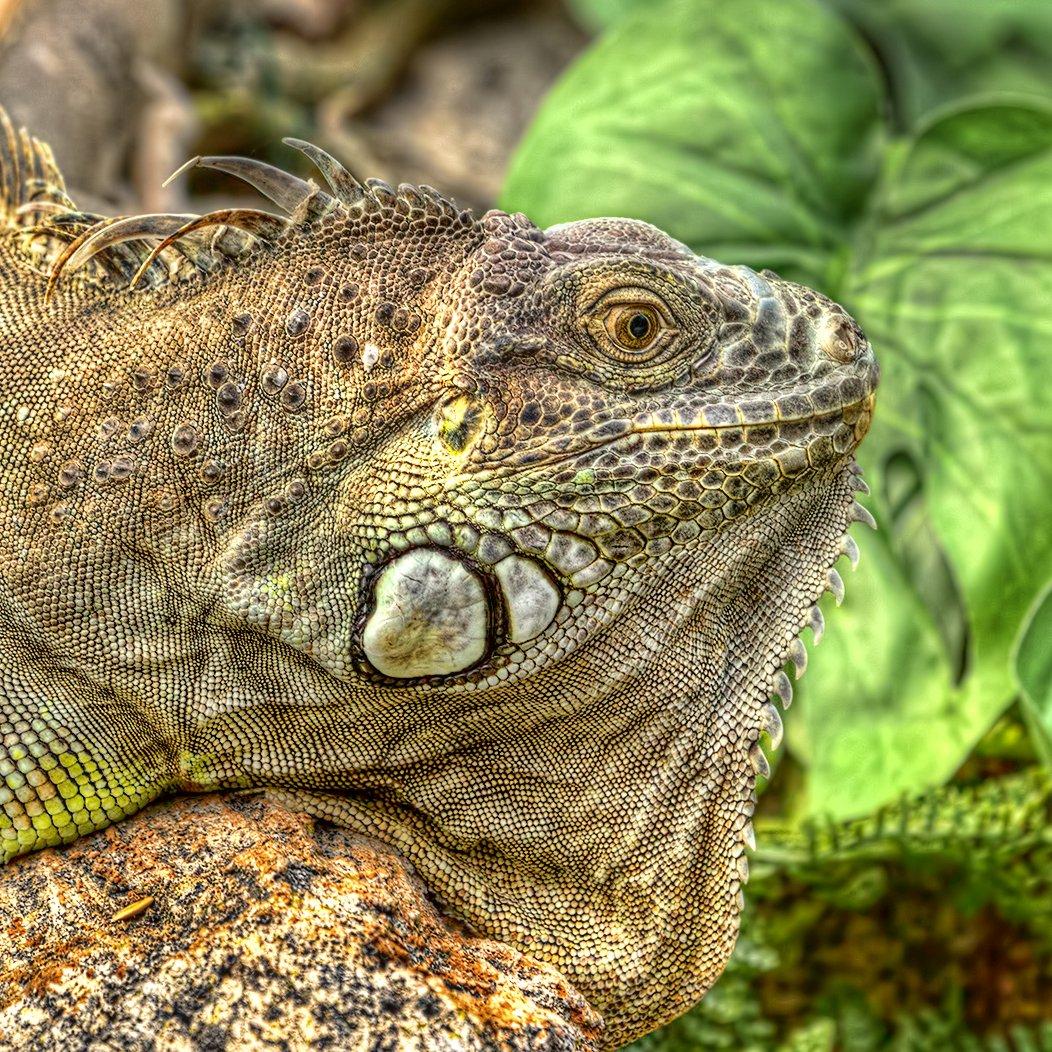 iguana detailed