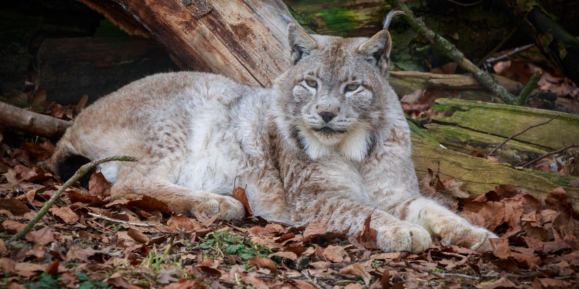 Lynx – Luchs
